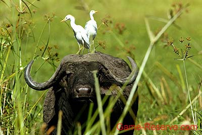 Buffalo and Cattle Egrets.  Pic: David Anderson