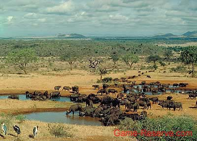 Buffalo Herd at Waterhole.  Pic: David Anderson.