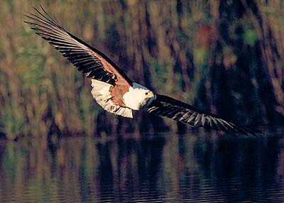 Flight of the Fish Eagle.  Pic: David Anderson.