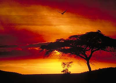 Acacia Tree sunset in Africa. Pic: David Anderson.