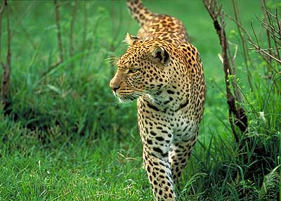 Prowling Leopard. Pic: David Anderson.