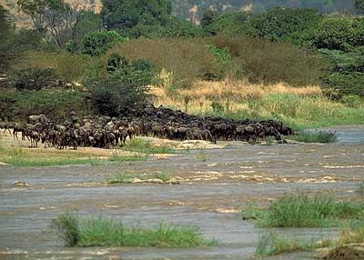Wildebeest Migration River Crossing. Pic: David Anderson.