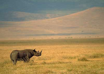 Black Rhino. Pic: David Anderson.